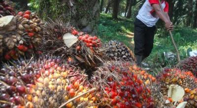 Côte d'Ivoire : Les cours de l'huile de palme s'envolent, + 50% en huit mois, l'actio...