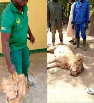 Cameroun : Un lion abattu et décapité après plusieurs attaques à l'Extrême-Nord