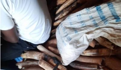Côte d'Ivoire : Abengourou, 5 individus appréhendés avec 60 pointes d'ivoire destinées à l'exportation