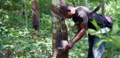 Côte d'Ivoire : Caoutchouc naturel, le pays 1er en Afrique  pointe désormais au 4e rang mondial