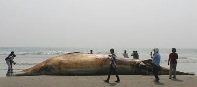 Namibie : Percuté par un navire, une baleine bleue, espèce rare, s'échoue sur une pla...