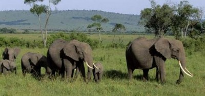 Togo :  Des éléphants tuent un Lieutenant des Eaux et forets