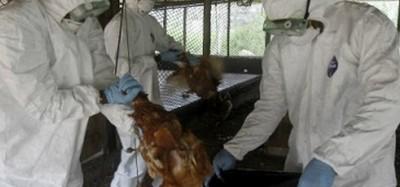 Togo :  Grippe aviaire suspectée à Djagblé-Klémé