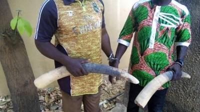 Burkina Faso : trois trafiquants d'ivoire  condamnés à 12 mois de prison