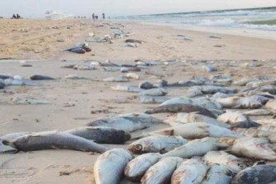 Mauritanie : Une importante quantité de poissons morts échouent sur une plage