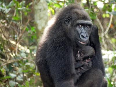 Gabon : Naissance d'un bébé gorille, bonne nouvelle pour la conservation de l'espèce