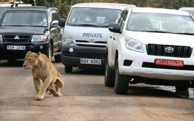 Kenya : Un lion évadé sème la panique à Nairobi