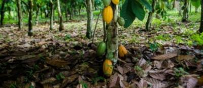 Côte d'Ivoire : Agroforesterie, la pratique de la  cacaoculture durable une réalité dans les Bas-Sassandra