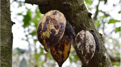 Côte d'Ivoire : Malgré l'intensification de la lutte,  la menace du  Swollen Shoot pèse toujours sur les cacaoyères ivoiriennes