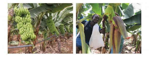 Côte d'Ivoire: Filière banane, 11 ans après l'Appel de Yaoundé, Afruibana lance «l'Appel d'A...