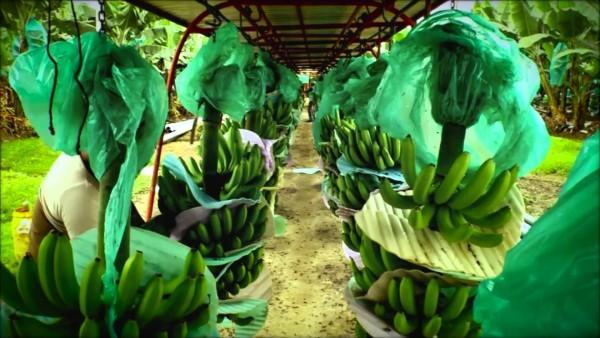 Côte d'Ivoire: Filière banane, à l'initiative d'Afruibana, les producteurs ACP de bananes la...
