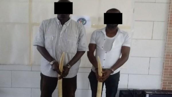 Côte d'Ivoire: Deux présumés trafiquants majeurs opérant dans le trafic illégal de l'ivoire mis aux arrêts