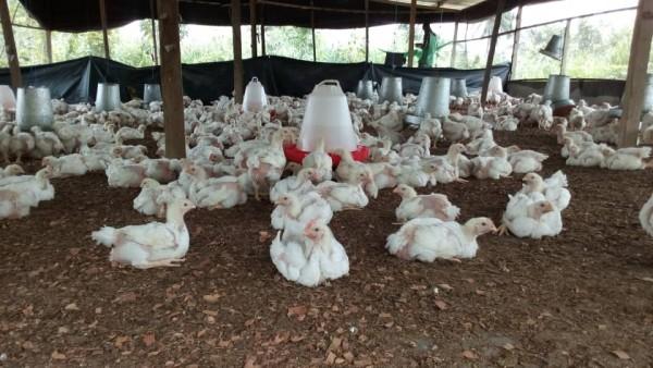 Côte d'Ivoire: Pour favoriser l'aviculture ivoirienne, le prélèvement compensatoire sur les importations de volaille sera reconduit pour 10 ans
