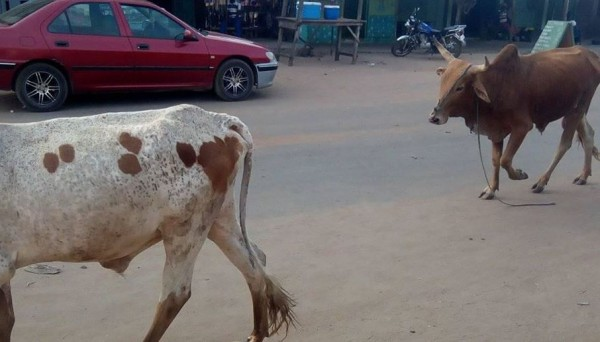 Côte d'Ivoire: À Zuenoula, à quatre ils tentent de voler un mouton, l'un  des présumés voleurs  mis aux arrêts