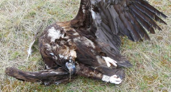 Guinée Bissau : Des centaines de vautours retrouvés morts autour d'un abattoir