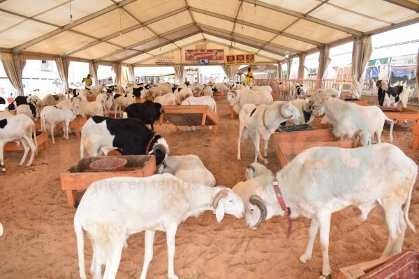 Sénégal : Tabaski, plus 150.000 moutons invendus, le Gouvernement promet des mesures
