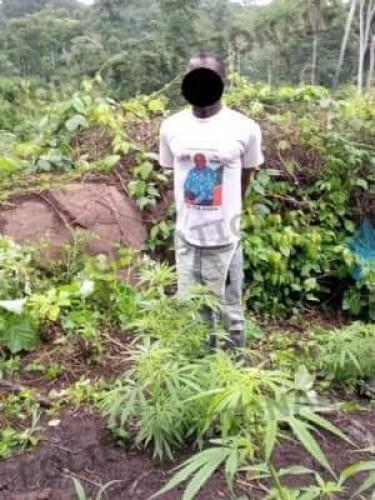 Côte d'Ivoire : Man, un champ de 200 pieds de cannabis découvert dans un village