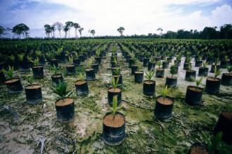 ENVIRONNEMENT: Les dangers de la culture du palmier à huile!