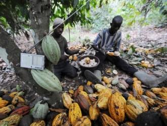 COTE D'IVOIRE : Les chercheurs menacent: «Si rien n'est fait il n'y aura plus de Cacao dans 50 ans !»