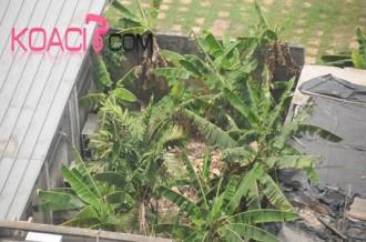 COTE D'IVOIRE: Cherté de la vie: Les plantations envahissent Abidjan