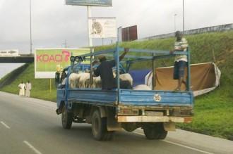 COTE D'IVOIRE: TABASKI: Quand le mouton n'est plus à l'honneur !
