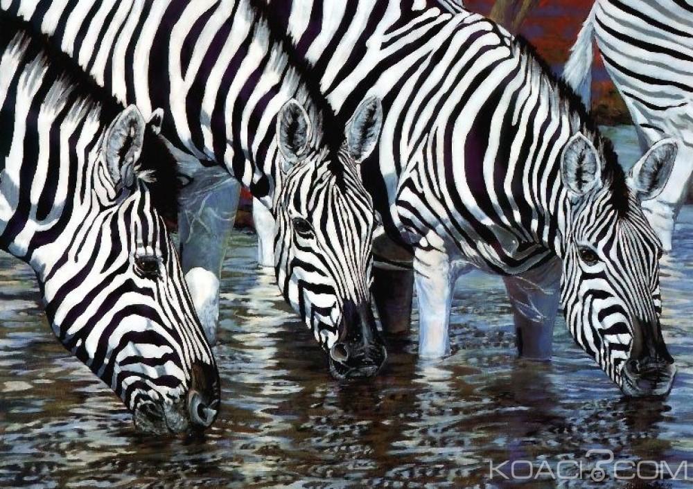 Côte d'Ivoire : De nouveaux Zèbres pour le parc national du  Zoo d'Abidjan