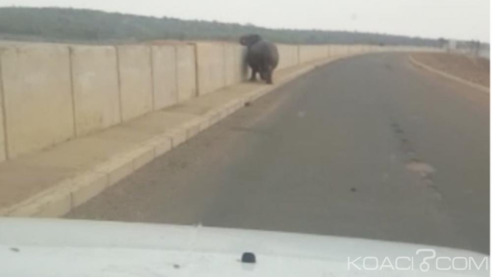 Afrique du Sud:  Un hippopotame s'attaque à un  4x4 près d'un parc