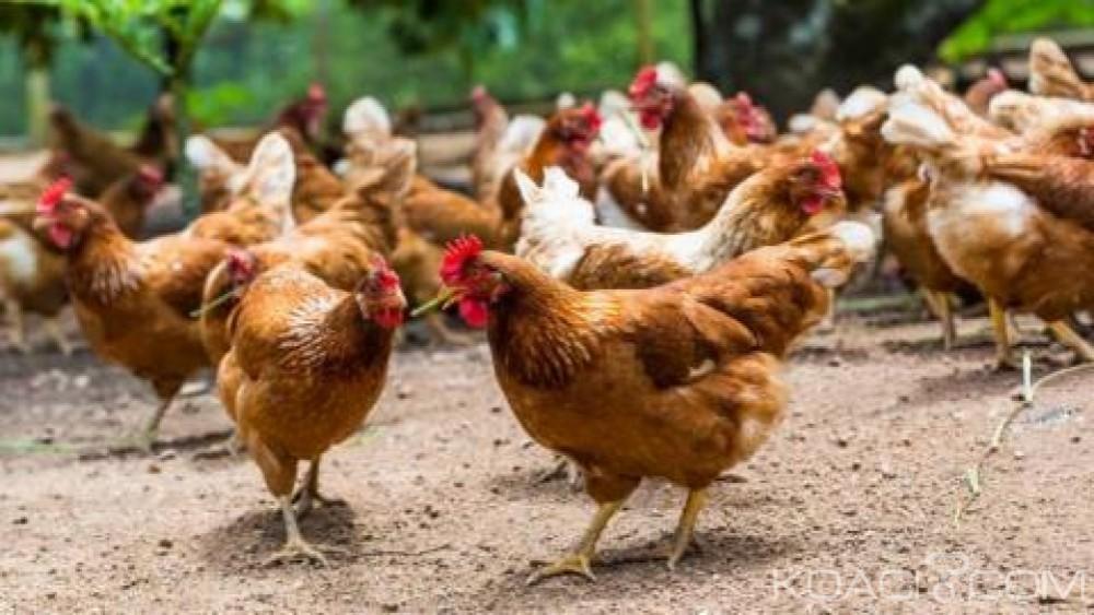 Zimbabwe:   Le poulet sous embargo après  une grave  épidémie de grippe aviaire