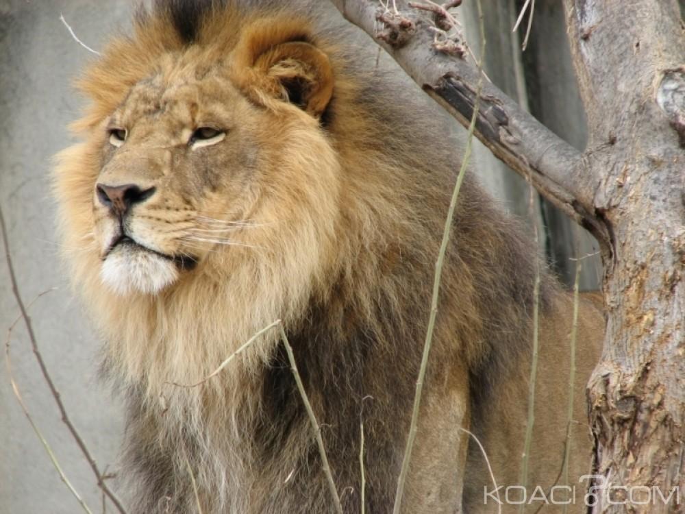 Zimbabwe:  Une fillette de 10 ans dévorée par un lion dans le sud- est