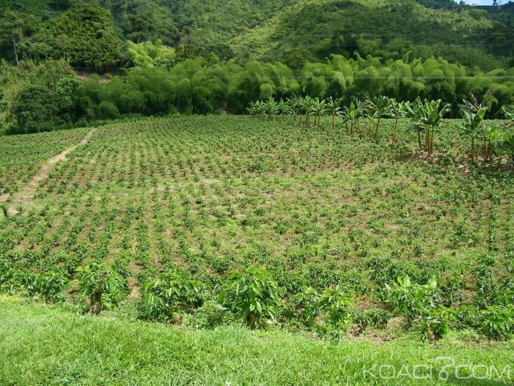 Côte d'Ivoire: Kani, un hectare de champ de Coca découvert