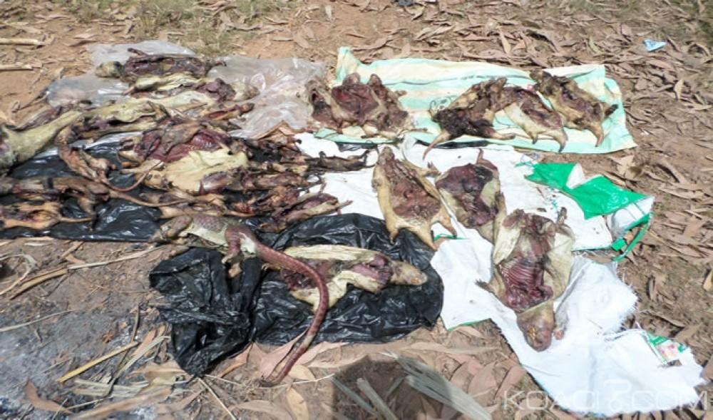 Côte d'Ivoire: Dabakala, les agents des Eaux et Forêts mettent la main sur du gibier et armes utilisés par des braconniers