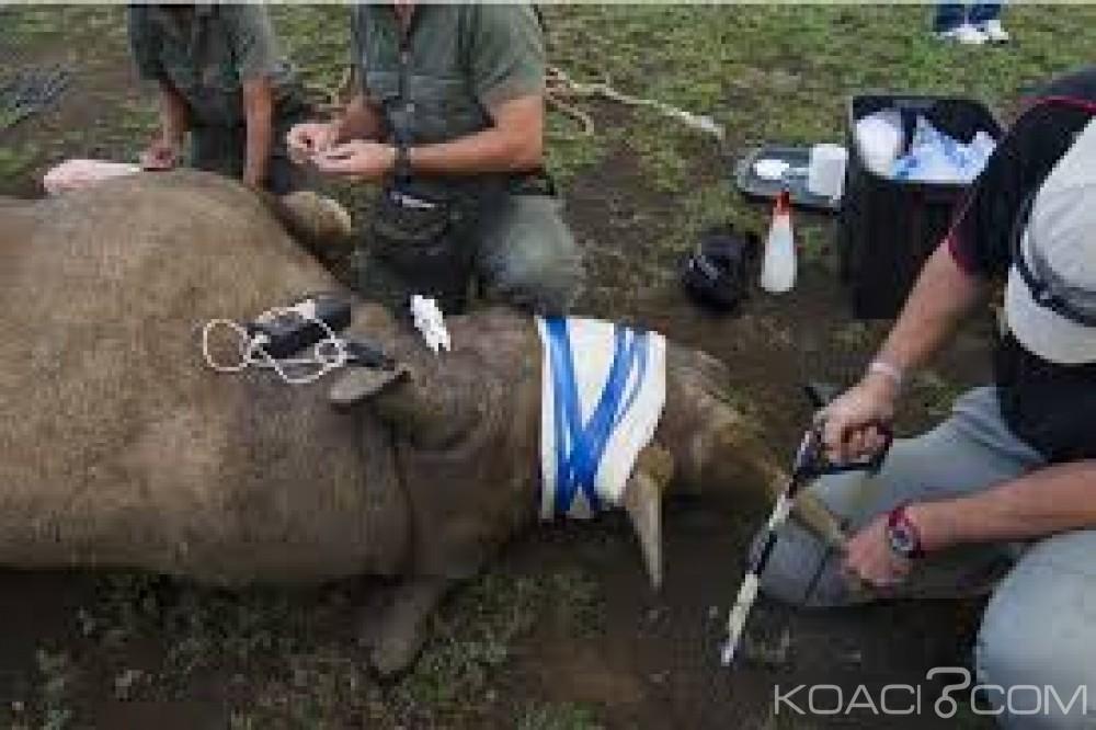 Zambie: Trois  ressortissants chinois arrêtés avec 25  cornes de rhinocéros