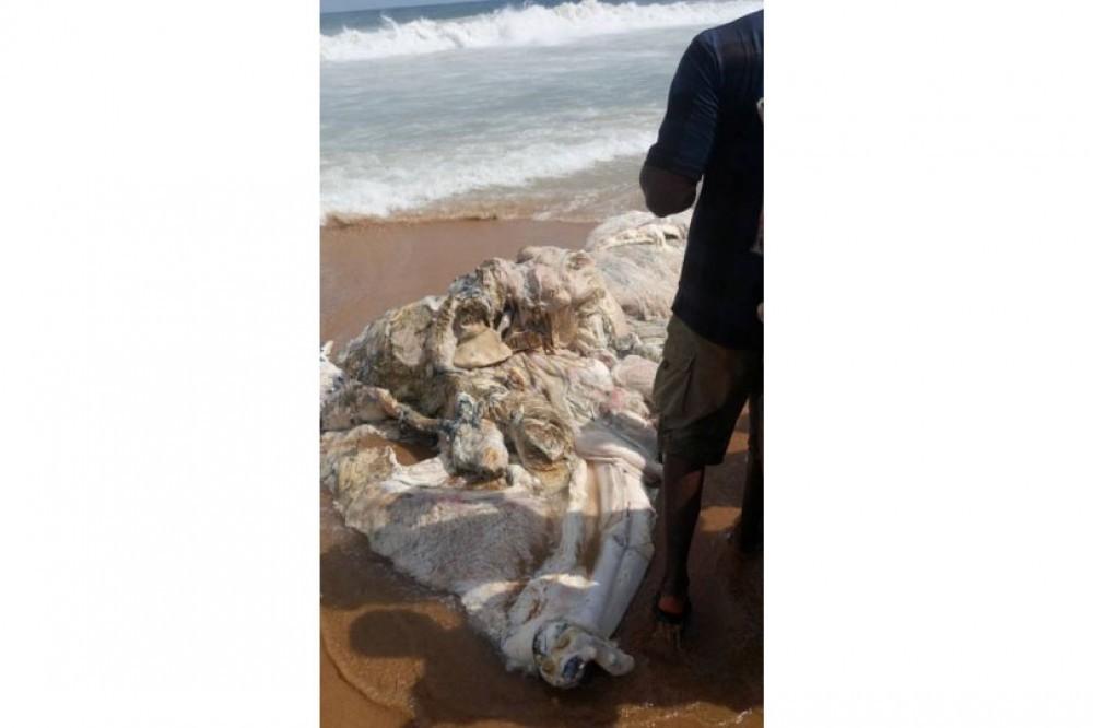 Côte d'Ivoire: San Pedro, le corps en décomposition d'une baleine échoue aux larges de la plage, crainte de pollution envisageable