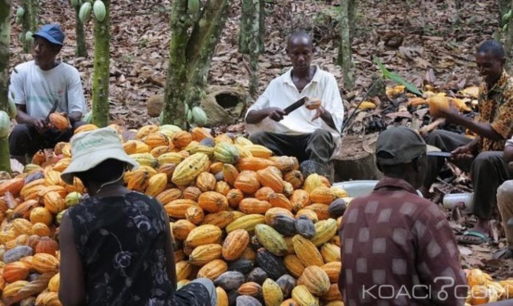 Côte d'Ivoire: Nouvelle désillusion pour les producteurs, le prix au kilo de Cacao fixé à 700 FCFA