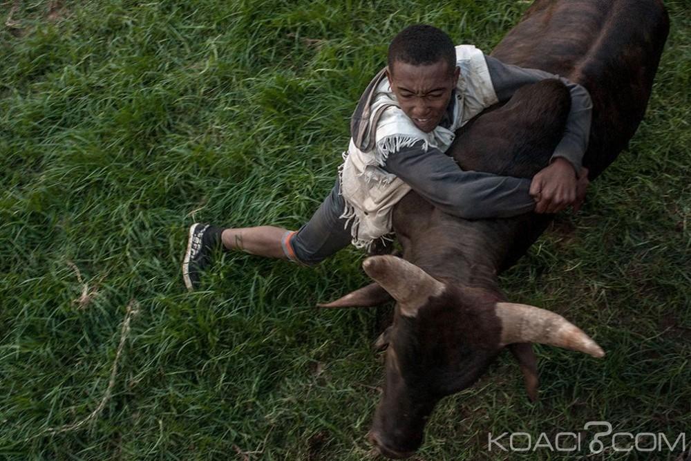 Madagascar: Pour trouver l'amour, des  hommes affrontent des zébus
