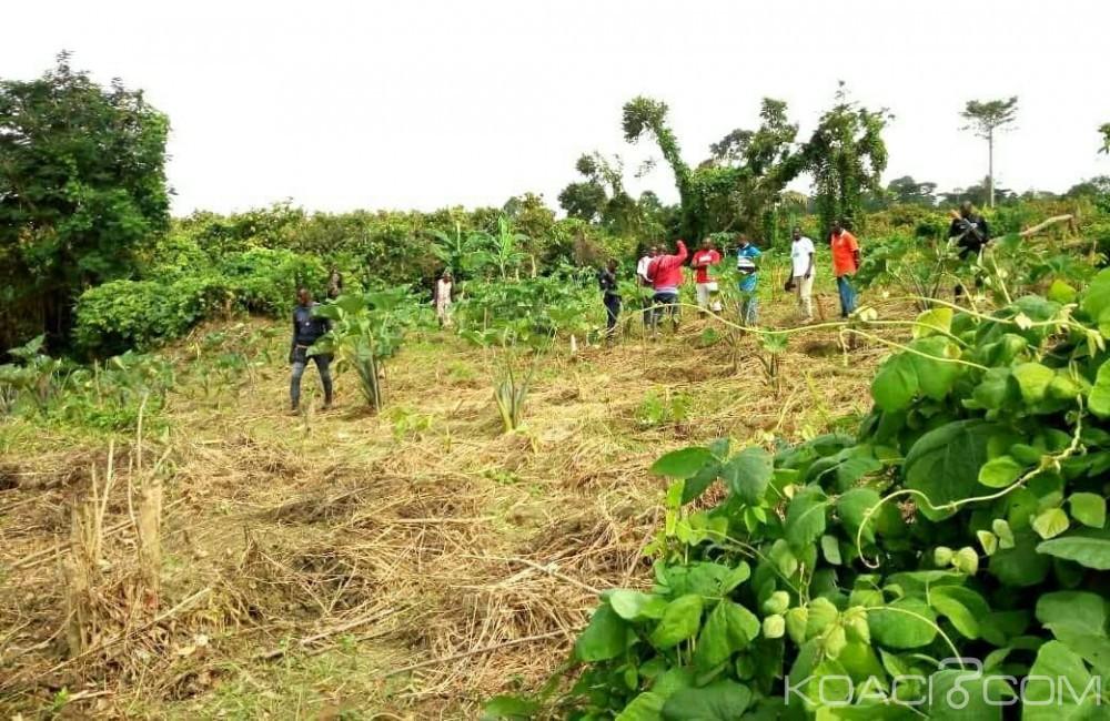 Côte d'Ivoire: Bongouanou, un redoutable dealer de drogue arrêté, sa plantation de cannabis découverte