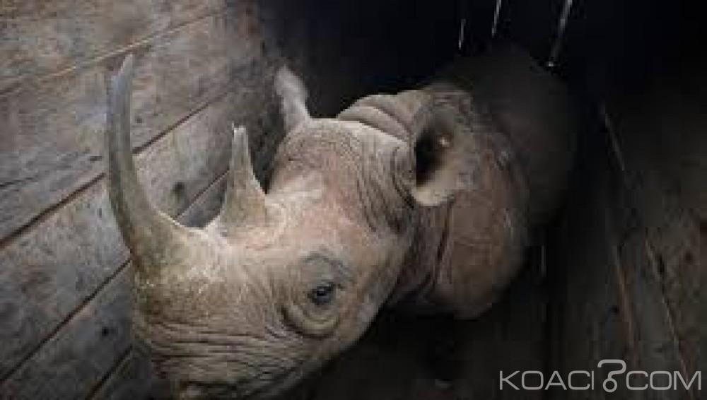 Kenya:  Huit rhinocéros morts empoisonnés après leur transfert dans un nouveau parc