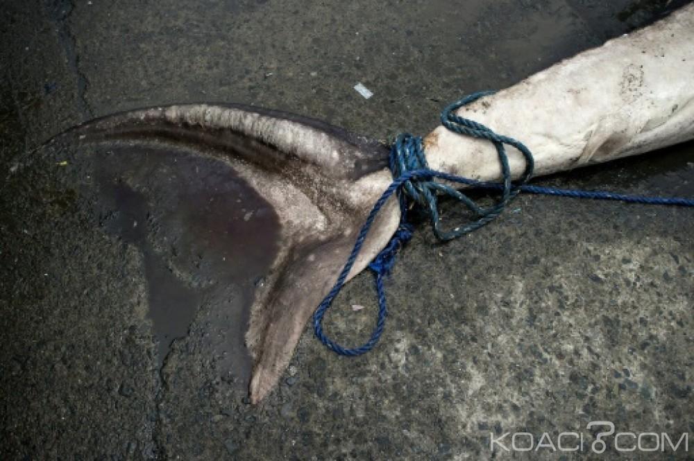 Afrique: Golfe de Guinée, des ailerons de requins trouvés à bord d'un navire européen