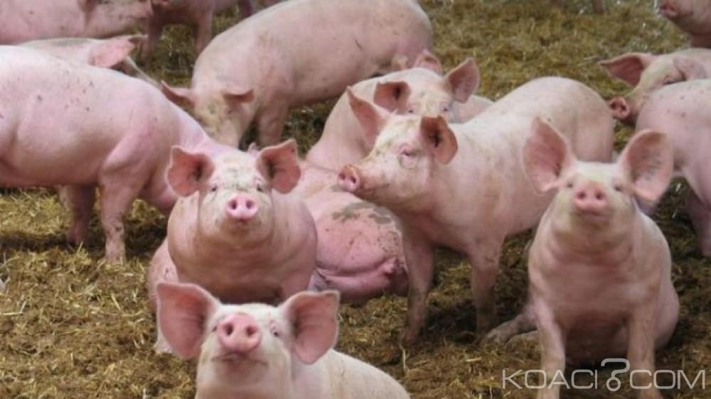 Côte d'Ivoire : Environ 270 millions FCFA de la FAO pour lutter contre la peste porcine dans le Tchologo et Poro sur une période  d'un an