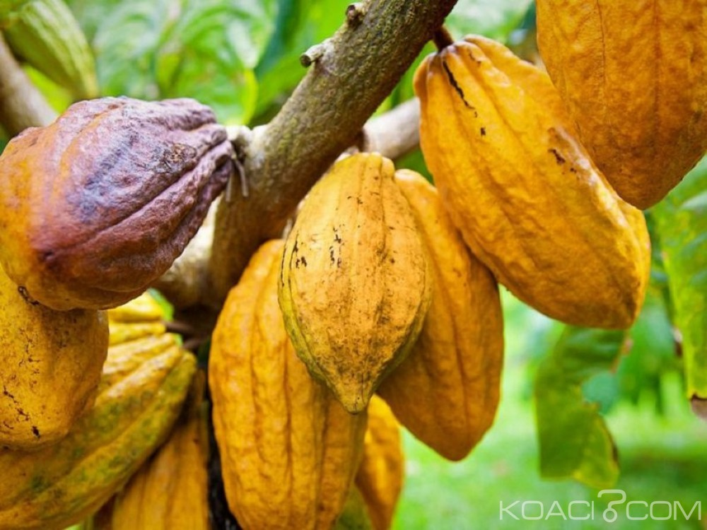 Côte d'Ivoire : Environ 13.748 hectares de déforestation dans la seule région productrice de cacao du sud-ouest