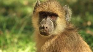 Zambie: Un babouin prive des milliers de zambiens de courant